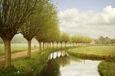 Garden inspiration:  From The Netherlands . . .willows, before they are cut in fall. I love this landscape.