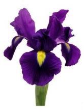 Check out our selection of Iris flowers, below! With one unique bloom on each stem, Iris make a wonderful focal flower in a garden arrangement. Pair Iris with o Dark Purple Flowers, Purple Iris, Purple Wedding Flowers, White Iris, Deep Purple, Iris Flowers, Planting Flowers, Jenny Flowers, Flowers Pics