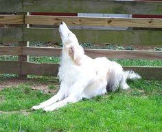 Borzoi doing doggy yoga