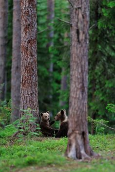 Brown bear cubs (Ursus arctos) talking to each other. Nature Animals, Animals And Pets, Baby Animals, Funny Animals, Cute Animals, Forest Animals, Funny Dog Pictures, Cute Pictures, Love Bear