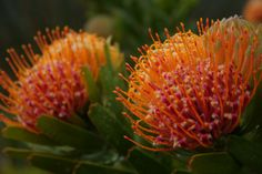 Pincushion Leucospermum a lovely and colorful Fynbos for your Modern garden #Fynbos