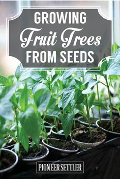 Growing Fruit Trees From Seeds How To Plant Fruit Trees - Homesteading Tips by Pioneer Settler at http://pioneersettler.com/growing-fruit-trees-seeds/
