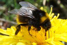 Een hommel doet zicht tegoed aan de eerste nectar