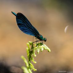 Blauflügel Prachtlibelle by Sebastian Raab on 500px