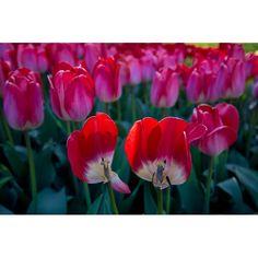 2013-04 Tulips Brooklyn Botanic Garden Brooklyn. #toptravelspot #usa #brooklyn #newyork #nyc #tulips #red #spring #bbg #travelphotography #landscapephotography #photography #travel  #wanderlust  #instapassport #travelgram #travelling #instatraveling