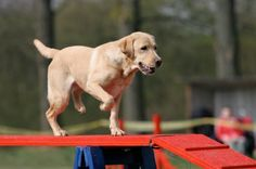 Most dogs seem to love #agility! #Labs #YellowLab