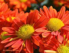 A close up of orange mums, Royal Flora 2011, Ratchaphruek, Chiang Mai