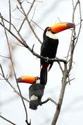 Aves brasileiras