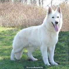 pastor alemão branco - Pesquisa do Google