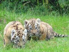 Nun war es endlich so weit: Der Tigernachwuchs durfte die erstmals Außenanlage…