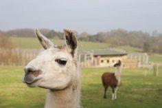 The world's smuggest llama