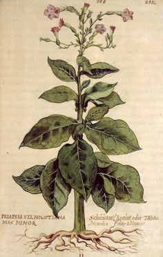 "lawsoffateherbal:  Priapeia vel nicotiana (tobacco) ""Detail showing the flowers of the tobacco-plant, from a manuscript compiled under the direction of Leonhart Fuchs (1501-66), professor of medicine at the university of Tübingen. Fuchs was one of the first men to study plants for their own sake, as well as for their medical applications. His De historia stirpium commentarii insignes of 1542 was the second notable printed herbal produced in Germany, supplanting Otto Brunfels' Herbarum vivae…"