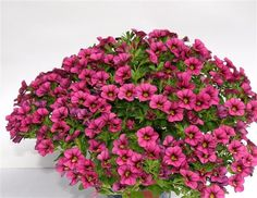 """Details: Annual Height:Up to 8"""" Spread: Up to 12"""" Color: Raspberry"""