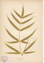 Lowe Fern Print- Pteris Cretica