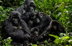 in Virunga © Brent Stirton / Reportage for Getty Images / WWF