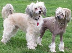 Chinese Crested Dogs - powder puff left, hairless right)