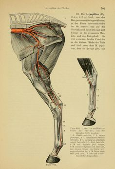 moose muscle anatomy - Google Search | moose | Pinterest | Muscle ...
