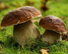 Mushroomus Yummus