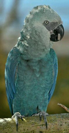 Parrot - Endangered Spix's  Macaw