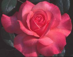 Spellbound —Best Hybrid Tea Rose 2012- in my garden