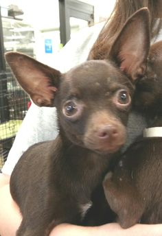 I am a female Chihuahua puppy.  I am about 6 months old. I am spayed, current on shots, micro-chipped and on flea/heartworm prevention.  My adoption is $200.I was rescued from a shelter along with my sister and mother.  My sister and I were very...