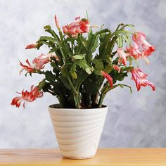 Christmas Cactus ~ Brings a little life to your Christmas decorating.  This family treasure will bloom year after year, just in time for Christmas