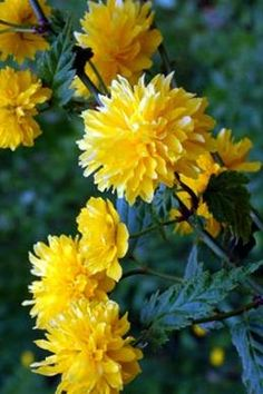 Branches of this-- Kerria japonica 'Pleniflora', also called Bachelor's buttons and Japanese rose-- flowering indoors in a vase in the living room today. Soon they should be flowering outdoors (April Garden Trees, Garden Plants, Amazing Flowers, Beautiful Flowers, Virtual Flowers, Plant Images, Chinese Garden, Japanese Flowers, Seasonal Flowers