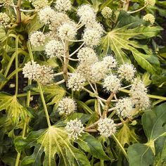 Our bird friends love the white flower clusters of Fatsia japonica. When in bloom enjoy their beauty and bird song. A full bird is a happy bird. (Shown: Camouflage Variegated Japanese Aralia zones Winter Garden, White Flowers, Plants, Variegated Plants, Fatsia Japonica, Plant Catalogs, Variegated, Monrovia Plants, Small Trees