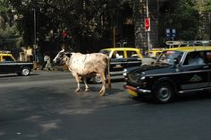 Yes, it's true. We do have cows walking down roads and blocking traffic :)