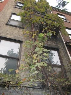Grape Vine NYC Rooftop Nyc, Green Rooms, Looking Up, Compost, Grape Vines, New York City, Yard, House Styles, Places