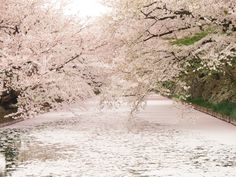 "Fallen cherry blossoms make gorgeous ""sakura carpet"" at Hirosaki Park 【Photos】"