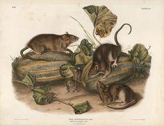 """1989 Vintage /""""MOLE SHAPED POUCHED RAT/"""" AUDUBON MAMMAL COLOR Art Plate Lithograph"""