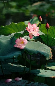 ♡☆ The sacred lotus flower ☆♡ Water Flowers, Water Plants, Pretty Flowers, Flower Art, My Flower, Lotus Art, Lily Pond, Exotic Flowers, Beautiful Roses