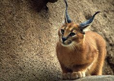 Amazing photo by =ceadair-crann Caracal Kitten II ~ You can click website to purchase a print <3