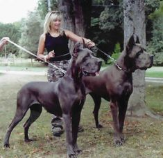 #Great #Danes... they really are GREAT