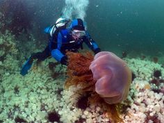 Lion's Mane Jellyfish. These giant jellies can reach diameters of 2.5 meters!!