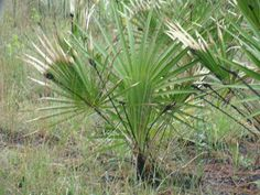 Saw Palmetto Uses and Benefits as a Medicinal Herb Good as a mens tonic and good for women with PCOS