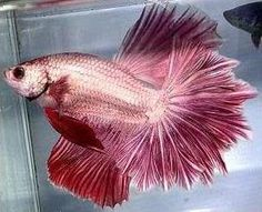 Betta Tails & Colors listed here