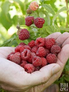 'Heritage' red raspberry - bears medium-sized fruit in July and September. The stiff, upright canes need little support and it is known for its excellent ability to produce a fall crop. Organic Gardening, Gardening Tips, Vegetable Gardening, Growing Raspberries, Red Raspberry, Raspberry Plants, Growing Succulents, Juicy Fruit, Fruit Garden