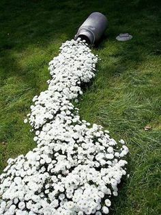 """spilled milk"" affect ...use a low growing, white flowering plant that grows best in your location...."