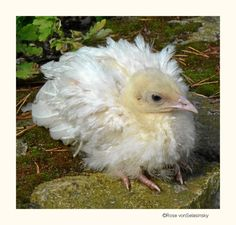 Little white peacock chick, such a sweetie with the feathers coming in
