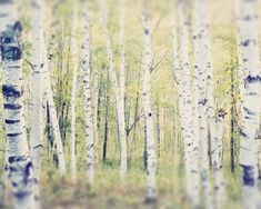 "Maine Landscape Photography Print """"Birch Trees in Spring"""""