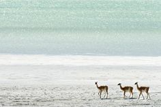 Guanacos walking on shores of Lago Toro  Torres del Paine National Park - Patagonia - Argentina