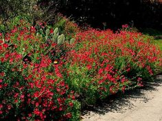Scarlet Flax, Red Flax, Flowering Flax  Linum grandiflorum