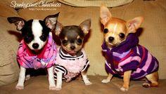Spunkypaws Chihuahuas - JuJuBee, Skye,  Holly sporting their sweaters - Spunky Lil Clear Blue Skye, Spunky Hollywood Starlet, Bred by Dana Baker