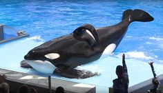 """<p>Tilikum, the SeaWorld orca that became famous after the documentary """"Blackfish"""" awakened the world to the plight of marine animals in captivity, is now fighting for his life.</p>"""