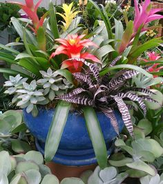 bromeliads, cryptanthus and succulents in a pretty blue bowl...
