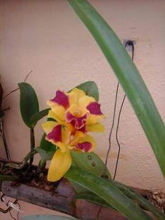 Cattleya Potinera  Burana Beauty