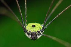 Opiliones, Eupnoi, F Sclerosomatidae, Subfamily Gagrellinae by M Hedin, via Flickr
