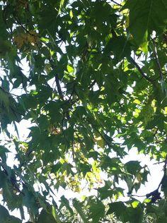 Plátano em Joanopolis